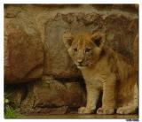 Fort Worth Zoo Lion-Cub.jpg