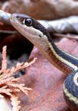 Thamnophis sauritus septentrionalis