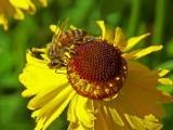 Bee on Bigalow Sneezeweed