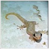 Gecko Attack!