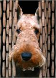 Being an Airedale /  Ser un Airedale