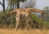Siamese Giraffes