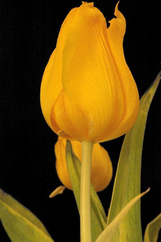 : Tulip Black Background :