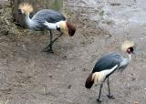 Balearica regulorum regulorum South African crowned crane Grijze Kroonkraanvogel