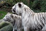 Panthera tigris  White tiger Witte tijger