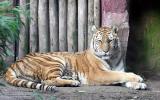 Panthera Tigris Altaica Siberian TigerSiberische Tijger