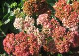 Autumn Joy or Sedum