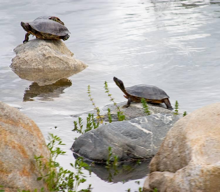 three-turtles.jpg
