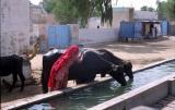 bBikaner1014_CamelSafari.jpg
