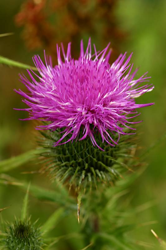 A thistle in a field