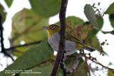 Everett's White-eye  Scientific name - Zosterops everetti  Habitat - Lowland forest, edge and second growth.