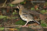 Ashy Ground-Thrush (a Philippine endemic, immature)  Scientific name - Zoothera cinerea  Habitat - Uncommon, shy and hard to see, on or near the ground from low to high elevation forest.