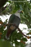 Black-chinned Fruit-dove  (a near Philippine endemic, Male)   Scientific name - Ptilinopus leclancheri leclancheri   Habitat - Uncommon in forest patches up to 1500 m.