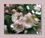 Malus ioensis blossom2