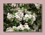 Malus ioensis blossom