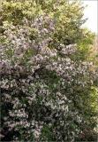 malusioensistree.jpg