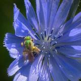 Green Bee on Blue Flower