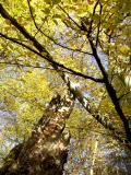 Fagus sylvatica and old trunk of Castanea