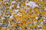 Golden leaves of Aspen