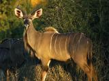 Nottens - Young Male Kudu