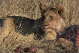 Tau - Lion cub on warthog kill