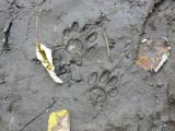 Raccoon Tracks (Highlighted)