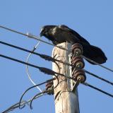 Raven pondering wiring