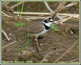 Little ringed Plover (Pluvier petit-gravelot)