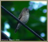 Asian Brown Flycatcher (Gobemouche brun)