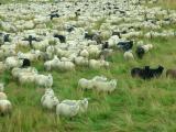 Annual Sheep Roundup