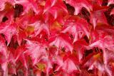 Red leafed wall