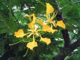 Yellow Royal Poinciana (Delonix regia var. Flavida)