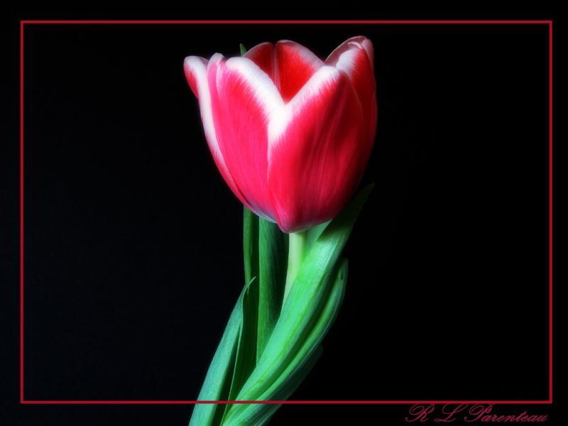Tulip1diffuseLine.jpg