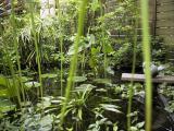 The little pond with Thalia dealbata, Cyperus alternifolius, Colocasia esculenta, water soldier, etc.