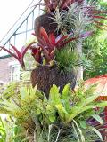 More bromeliads on a shaped treefern log. Note the incongruous mock-tudor gable of next door's house.