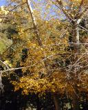 Fall Colors, Alpine Tavern, Mount Lowe Railway