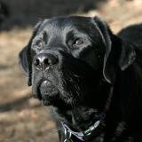 My Black Labs