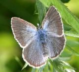 Silvery Blue - Glaucopsyche lygdamus female