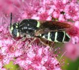 Soldier Flies - Stratiomyidae