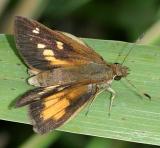 Broad-winged Skipper - Poanes viator , female