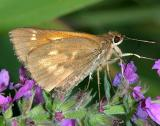 Broad-winged Skipper - Poanes viator