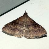 8379 -- Sociable Renia Moth -- Renia factiosalis