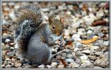 squirrel_gallery