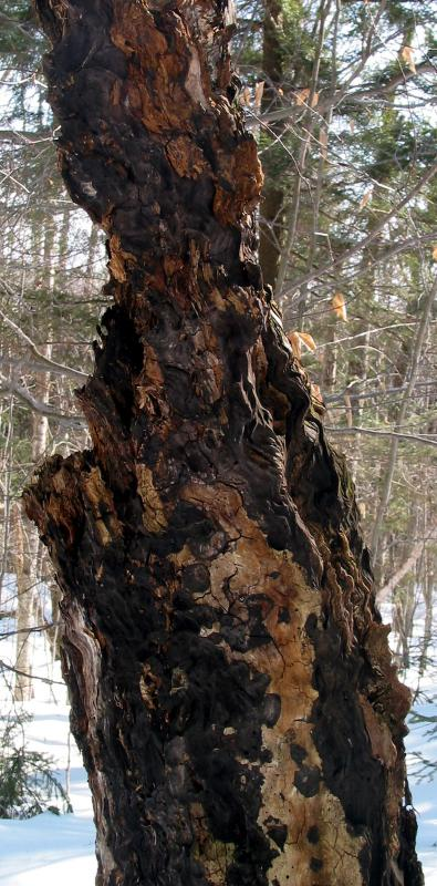 Decaying Tree Grain