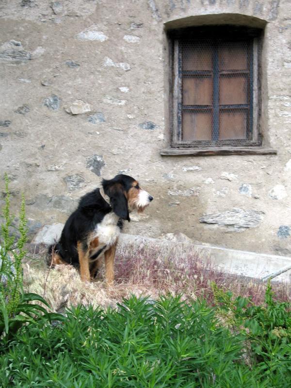 Guard dog in St Veran