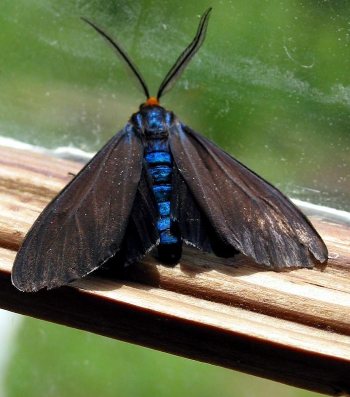 Ctenucha Blue Moth