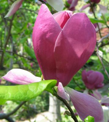 Rose magnolia