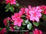 'Hino Crimson'