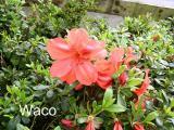 'Waco'