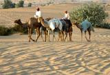 Camels and riders returning from a training circuit